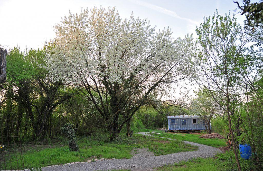 Großer blühender Apfelbaum und alter Bauwagen