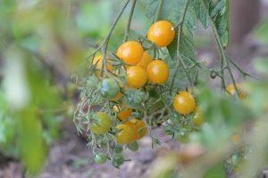 Kleine orangene Tomaten am Strauch